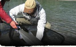 Picture of a guide assisting the netting of a trophy King Salmon, caught at Kalum River Lodge with Fish Skeena